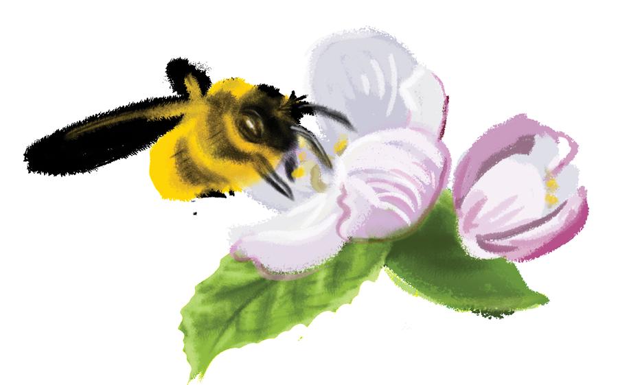 BeePollinatingAppleBlossom-900x561px
