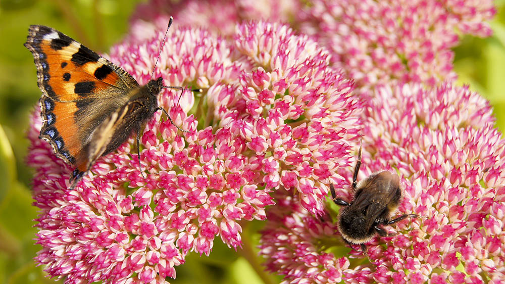 bumblebee and butterfly on a pink flower